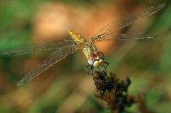 Dragonfly Sympetrum flaveolum, female - close up. Beautiful close up with dragonfly with drops of dew like necklace on the wings and soft background with green Royalty Free Stock Images