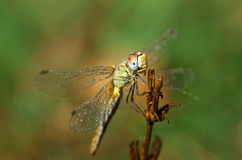 Dragonfly Sympetrum flaveolum, female - close up. Beautiful close up with dragonfly with drops of dew on the wings and soft background with pastel colors Stock Images
