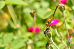Dragonfly (sympetrum) on a flower Stock Images