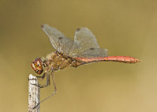 Dragonfly / Sympetrum fonscolombii Stock Images
