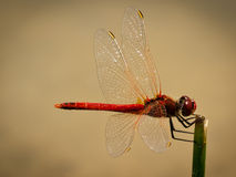 Dragonfly Sympetrum Fonscolombii Stock Photos