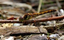 Dragonfly Sympetrum Pospolity Wężowy striolatum Fotografia Royalty Free