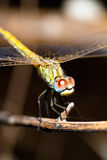 Dragonfly ( sympetrum sp ) Stock Photography
