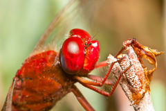 Dragonfly ( sympetrum sp ) Royalty Free Stock Photos