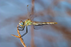 Dragonfly ( sympetrum sp ) Stock Photo