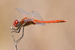 Dragonfly ( sympetrum sp ) Royalty Free Stock Photography