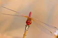 Dragonfly ( sympetrum sp ) Stock Image