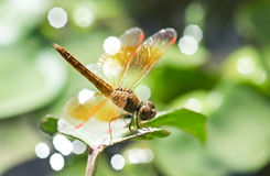 Dragonfly (Sympetrum sp.) Stock Image
