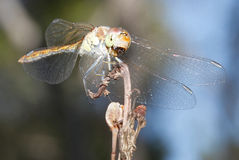 Dragonfly Sympetrum striolatum royalty free stock photos