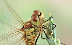 Dragonfly Sympetrum vulgatum (female) Stock Photos