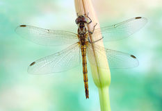 Dragonfly Sympetrum vulgatum (female) Stock Photography