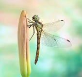 Dragonfly Sympetrum vulgatum (female). On the plant Stock Photo