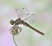 Dragonfly Sympetrum vulgatum (female) Royalty Free Stock Photo
