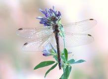 Dragonfly Sympetrum vulgatum (female) Stock Images