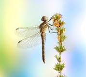 Dragonfly Sympetrum vulgatum (female) Stock Photo