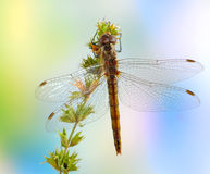 Dragonfly Sympetrum vulgatum (female) Royalty Free Stock Photography