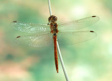 Dragonfly Sympetrum vulgatum (male) Royalty Free Stock Photography