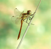 Dragonfly Sympetrum vulgatum (male) Royalty Free Stock Image