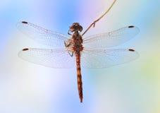 Dragonfly Sympetrum vulgatum (male). On the plant Stock Photo