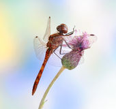 Dragonfly Sympetrum vulgatum (male) Royalty Free Stock Images