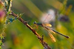 Dragonfly szczegóły Obraz Royalty Free
