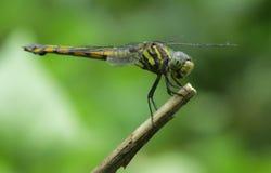 Dragonfly tła fotografii naturalna przyroda zdjęcia stock
