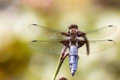 DRAGONFLY t?o Zbliżenie Bodied łowcy dragonfly samiec Libellula depressa z wielkimi przejrzystymi skrzydłami i światłem obrazy royalty free