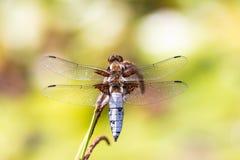 DRAGONFLY t?o Zbliżenie Bodied łowcy dragonfly samiec Libellula depressa z wielkimi przejrzystymi skrzydłami i światłem fotografia royalty free