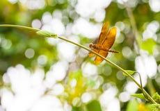 Dragonfly, Tajlandia Zdjęcie Royalty Free