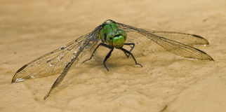 Dragonfly taking in water 17. Macro photo image of a dragonfly taking in water Royalty Free Stock Photo