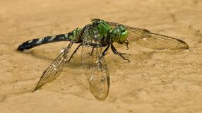 Dragonfly taking in water 9. Macro photo image of a dragonfly taking in water Stock Photo