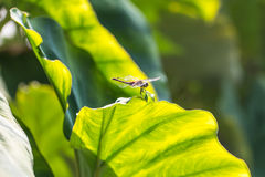 Dragonfly on taro leaves in the morning Stock Photo