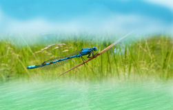 Dragonfly at tha water. Detail of nature royalty free stock images