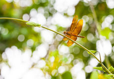 Dragonfly, Thailand Royalty Free Stock Photo
