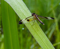 Dragonfly  in Thailand. Stock Photography