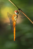 Dragonfly in Thailand. Stock Photos