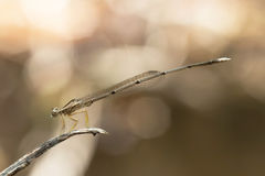 Dragonfly in Thailand. Royalty Free Stock Photography