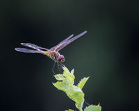 Dragonfly on Tip of Plant Royalty Free Stock Photos