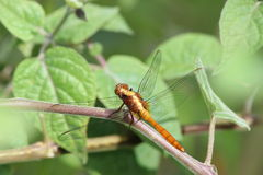 Dragonfly about to fly Royalty Free Stock Photos