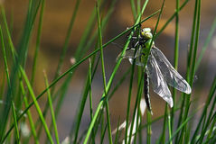 Dragonfly on top of the grass by lake Stock Photo