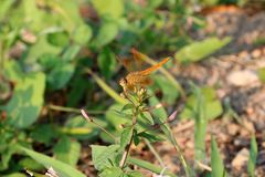 Dragonfly on the top of small bud flower and on the nature background. stock image