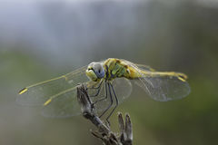 Dragonfly. In traditional symbolism represents, like the butterfly, soul, regeneration and immortality Stock Images
