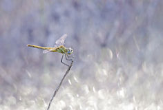 Dragonfly. In traditional symbolism represents, like the butterfly, soul, regeneration and immortality Royalty Free Stock Photos