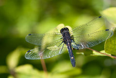 Dragonfly With Transparent Wings Perched on End of Twig Stock Photos