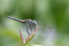 Dragonfly in a Tree Stock Photos