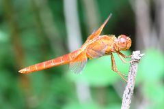 Dragonfly on tree branch Royalty Free Stock Photo