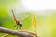 Dragonfly on a tree bunch Royalty Free Stock Photography