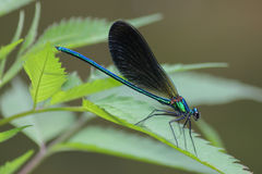 Dragonfly on a tree leaf Stock Images