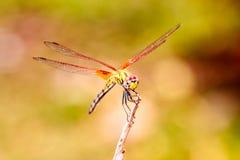 Dragonfly on treetops Stock Photo