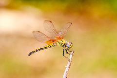 Dragonfly on treetops Royalty Free Stock Images